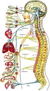 organi-interni
