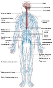 sistema nervoso atlante